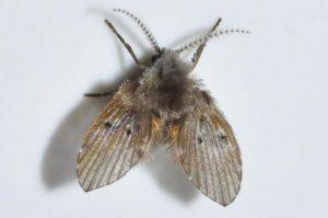 Làm thế nào để diệt ruồi cánh bướm?