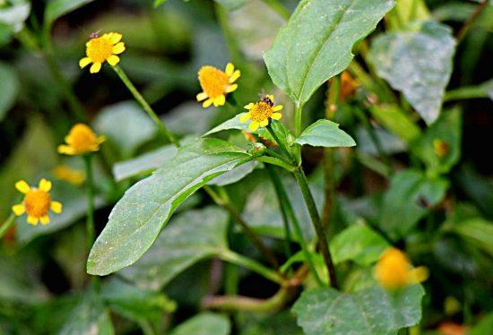 Cúc áo hoa vàng